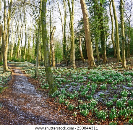 Early spring snow drops (Galanthus nivalis) in Rococo gardens woodland near to Painswick, The Cotswolds, Gloucestershire, United Kingdom