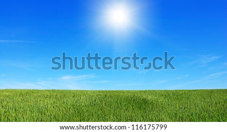 Early summer corn with a blue sky background - stock photo