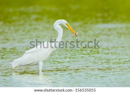 Eastern Great Egret (Ardea modesta) with her fish in her mount  - stock photo