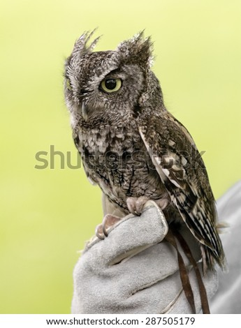Eastern Screech Owl are found wherever trees are. . These supremely camouflaged birds hide out in nooks and tree crannies through the day. Seen here is a mostly grey variety.  - stock photo