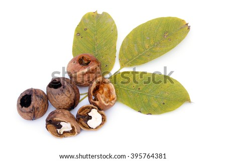 Eaten, half open and closed walnuts lying on walnuts' leaves - isolated on white