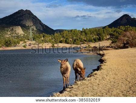 elk cows in estes park, colorado          - stock photo