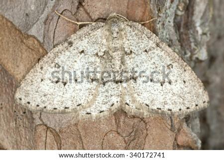 Elophos vittaria resting on bark  - stock photo