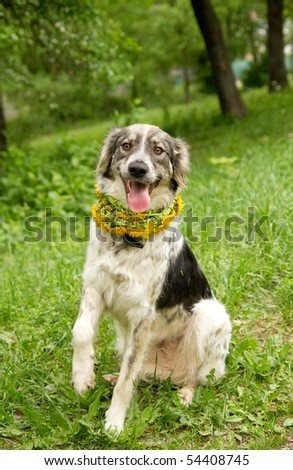 English setter on a green grass
