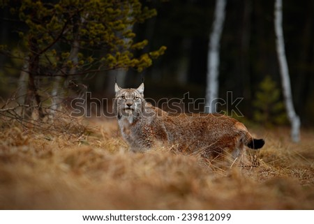 Eurasian Lynx in the habitat, birch and pine forest - stock photo