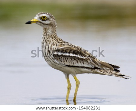Eurasian or Indian Thick-Knee   Burhinus oedicnemus or indicus - stock photo