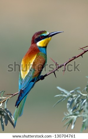 european bee-eater (Merops Apiaster) outdoor - stock photo