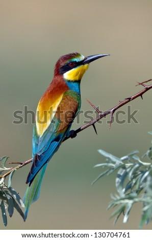 european bee-eater (Merops Apiaster) outdoor - stock photo
