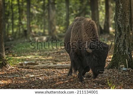 European bison (Bison bonasus), Prioksky-terraced reservation, Russia - stock photo