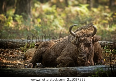 European bison (Bison bonasus) with calf in forest, Prioksky-terraced reservation, Russia - stock photo