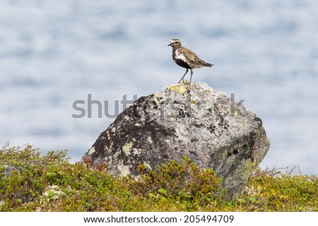 European golden plover (Pluvialis apricaria) on rock - stock photo
