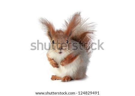 European grey  squirrel, on a white background - stock photo