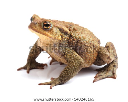 European toad (Bufo bufo) isolated on white - stock photo