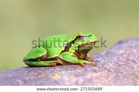 European tree frog (Hyla arborea). - stock photo