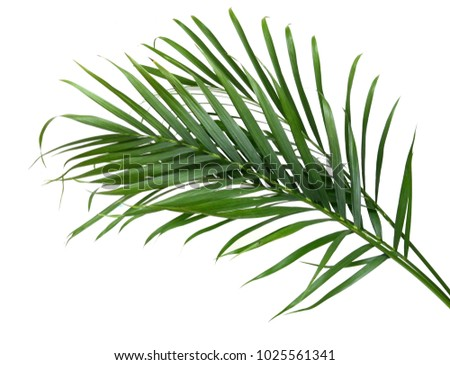 evergreen palm leaves isolated white