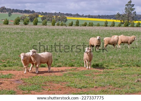 4 ewes and lambs in a grass pasture - stock photo