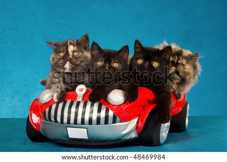 4 Exotic and Persian kittens in red miniature toy car - stock photo