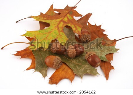 """Fall Leaves And Acorns"" Colorful fall display, acorns and oak leaves. - stock photo"