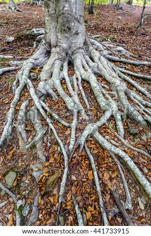 Fallen autumn leaves on the chestnut tree roots - stock photo