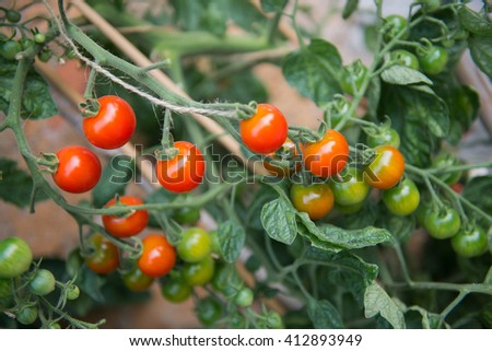 Farm of tasty red cherry tomatoes on the bushes