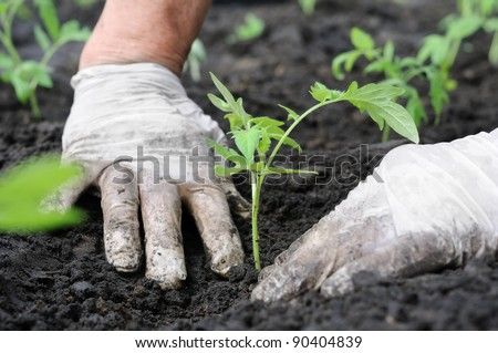 farmer planting a tomatoes seedling - stock photo