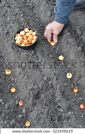 farmer planting onion in the vegetable garden  - stock photo