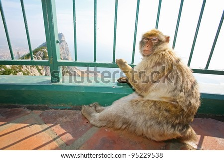 Female Gibraltar Monkeys or Barbary Macaques sitting on the floor of the lookout and holding for green fence from lookout of the city on top of the rocks above Gibraltar. - stock photo