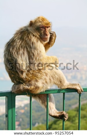 Female Gibraltar Monkeys or Barbary Macaques sitting on the green fence that is from the lookout of the city on top of the rock above Gibraltar. - stock photo