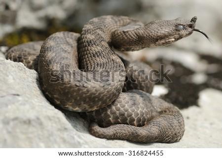 female horned viper (Vipera ammodytes) portrait - stock photo