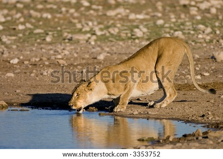 Lion Drinking Water Looking up Female Lion Drinking Water in