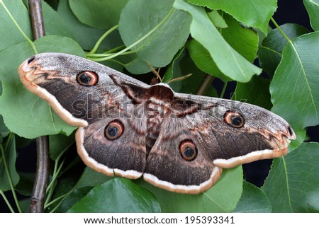 Female of Giant Peacock Moth (Saturnia pyri) - stock photo