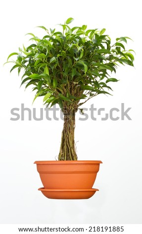 Ficus flower in pot - stock photo