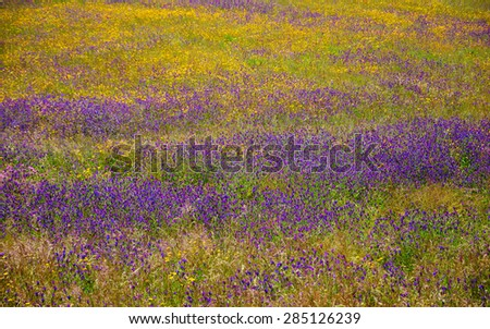 Field covered with blooming wild yellow daisy and violet lavender flowers. South of Portugal. - stock photo