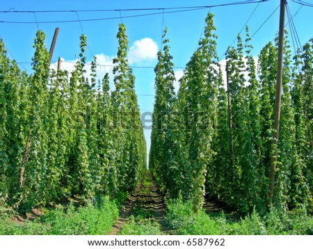 Field full of Czech hop - ready for harvest and bier production - stock photo