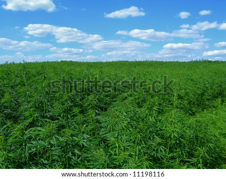 Field of hemp. Industrial kind of this plant is not a drug but a resource. It contains hardly any THC - stock photo