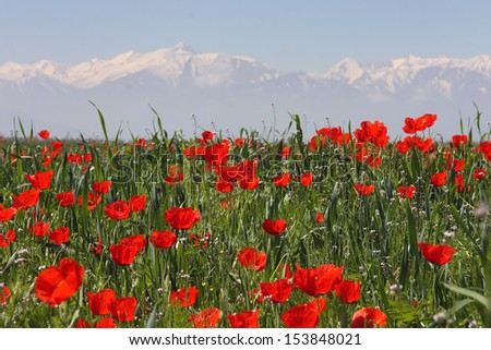 Field of poppies against mountains. A summer sunny day.