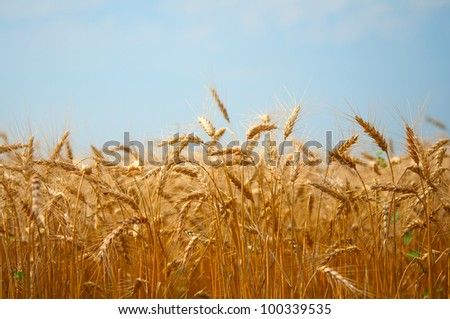 field of wheat on blue sky background - stock photo