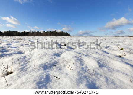 field where was harvested cereals. Agriculture in the winter season. On the ground lay the drifts of white snow of which protrude dry yellow stalks of plants