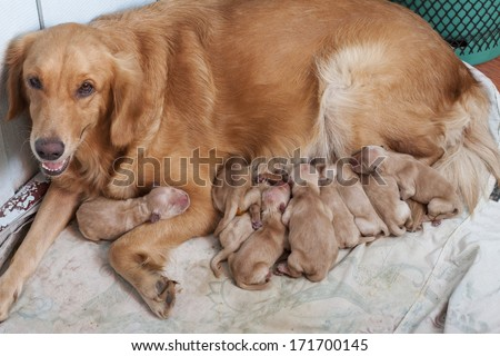 first day of golden retriever puppies with new dog mom lying on dry clothes  - stock photo