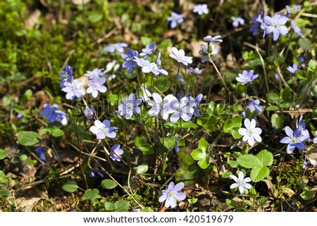 first spring flowers purple flowers growing in the forest - stock photo