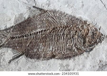 fish fossil - stock photo