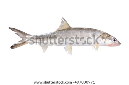 Fish Ladyfish  ( Elops saurus). Isolated on white background