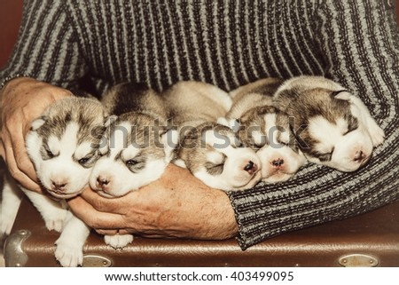 Five puppies Siberian Husky. Litter dogs in the hands of the breeder. Little puppies. - stock photo