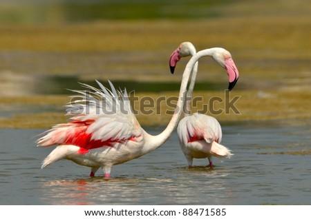 flamingo bird in natural habitat - stock photo
