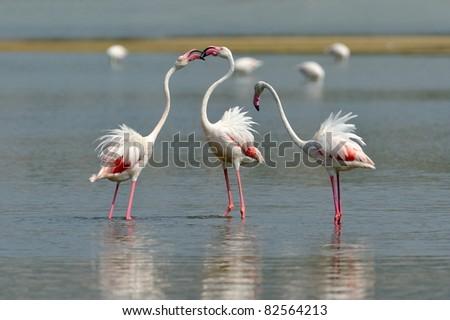 flamingo birds in natural habitat - stock photo