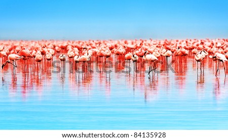 Flamingo birds in the lake Nakuru, African safari, Kenya - stock photo