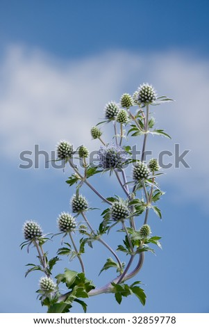 Flat sea holly steel blue eryngo on sky background (eryngium planum) - stock photo