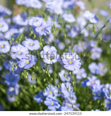 Flax flowers outdoor shot - stock photo