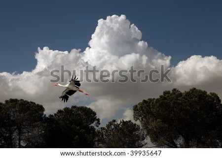 Flight of stork in the blue sky against a background of big beautiful clouds - stock photo