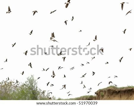 flock of birds swallows isolated on a white (Sand Martin, riparia riparia) - stock photo
